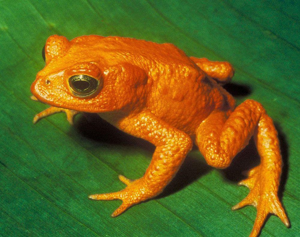 Bufo Periglenes Golden Toad 1000x0 Q80 Crop Smart, Fatos Desconhecidos