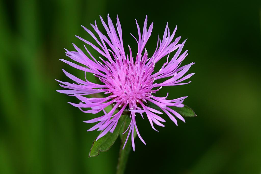 Spotted Knapweed Centaurea Maculosa, Fatos Desconhecidos
