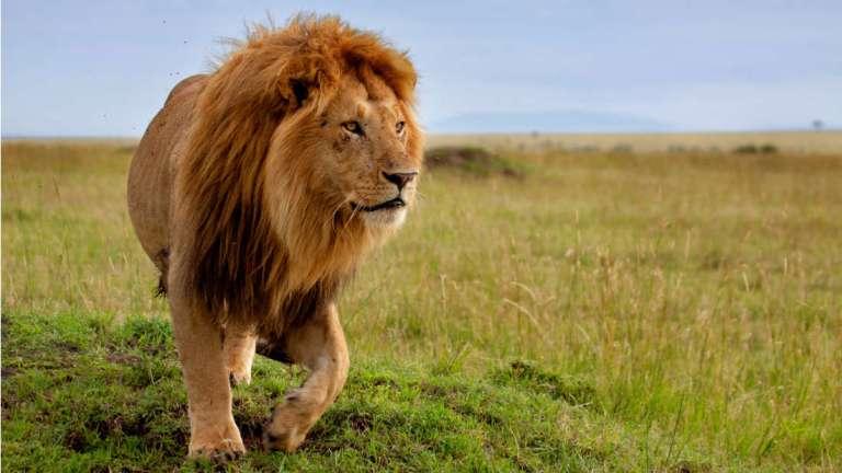 Leões gigantes viviam na África, revela crânio de 200 mil anos