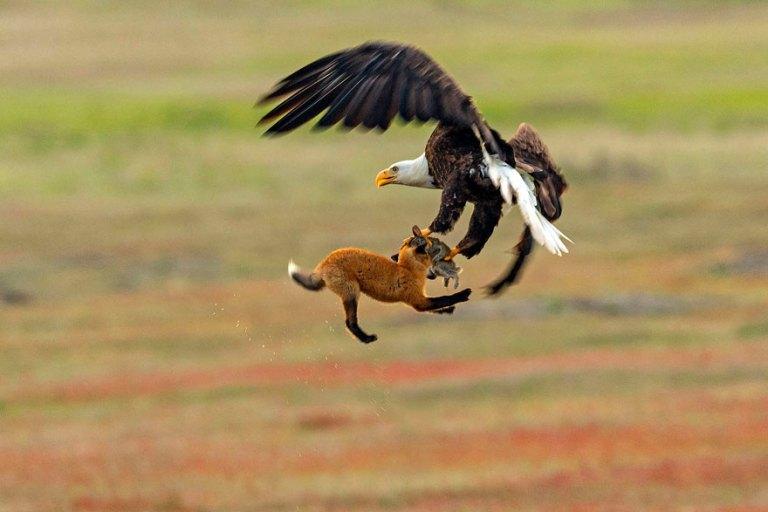 As fotos da batalha entre uma águia e uma raposa por causa de um coelho são incríveis
