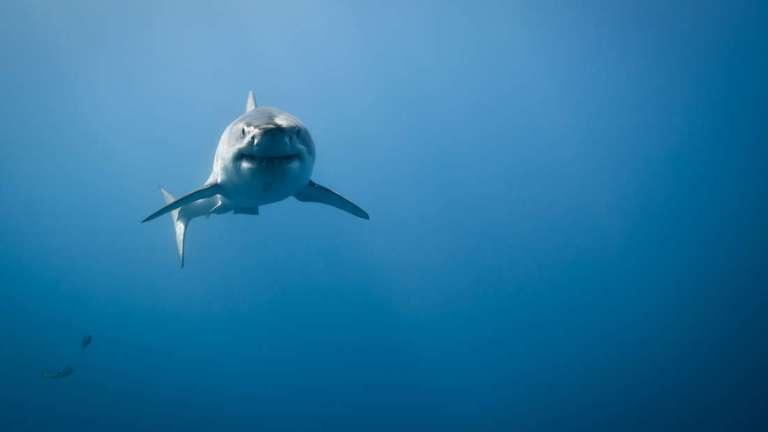 Entenda o motivo pelo qual nunca iremos ver um tubarão branco em um aquário