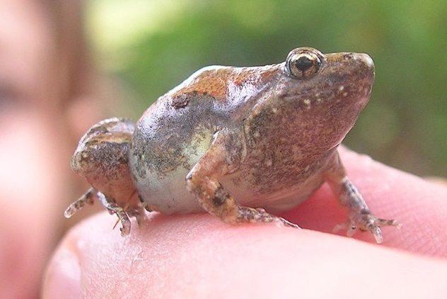 Ornate Narrow Mouthed Frog, Fatos Desconhecidos