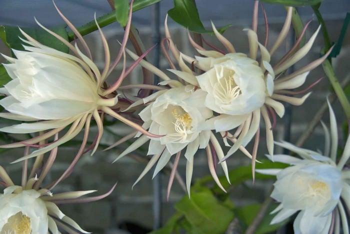 Night Blooming Cereus, Fatos Desconhecidos