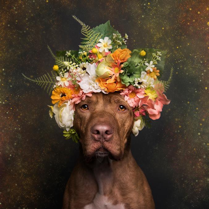 Uma fotógrafa resolveu fazer um ensaio inusitado para suavizar a imagem dos pitbulls