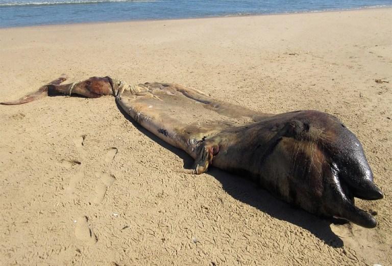 Criatura misteriosa é descoberta na Namíbia e não, não é um golfinho
