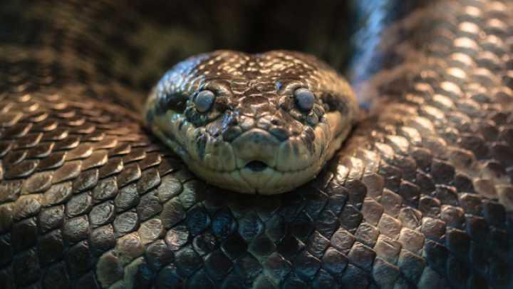 10 maiores cobras já encontradas na Terra