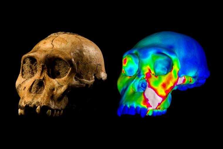 Garoto de 9 anos encontra fóssil importante para a história da nossa espécie