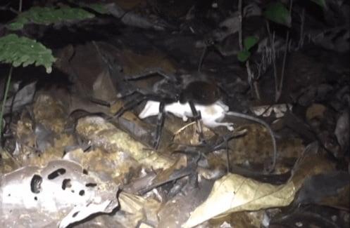 Vídeo mostra tarântula arrastando um filhote de gambá para devorá-lo