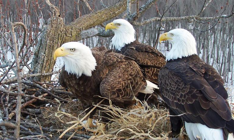 Trisal de águias está intrigando cientistas