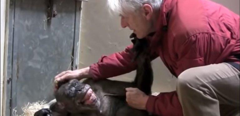 Vídeo emocionante mostra chimpanzé de 59 anos reconhecendo seu primeiro cuidador