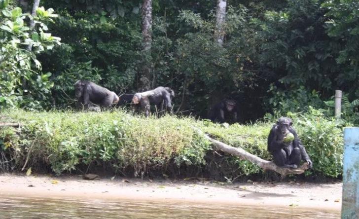 A triste vida dos chimpanzés abandonados em ilha após serem infectados com diversas doenças