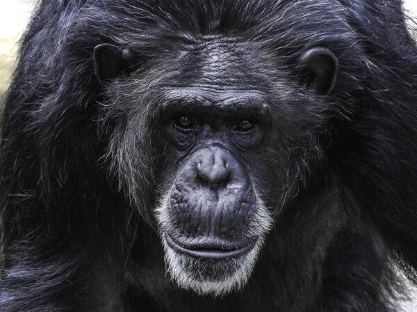 Chimpanzés Abandonados 2 600x448, Fatos Desconhecidos
