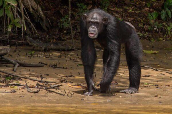 Chimpanzés Abandonados 3 600x399, Fatos Desconhecidos