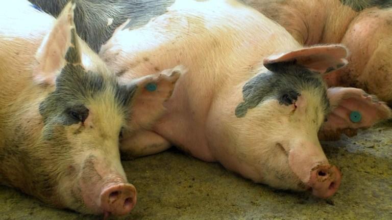 Cientistas dos EUA reviveram células cerebrais de porco quatro horas depois do abate