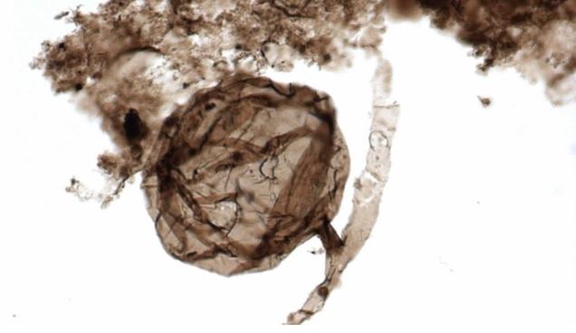 Cientistas encontram fungo que tem aproximadamente 1 bilhão de anos