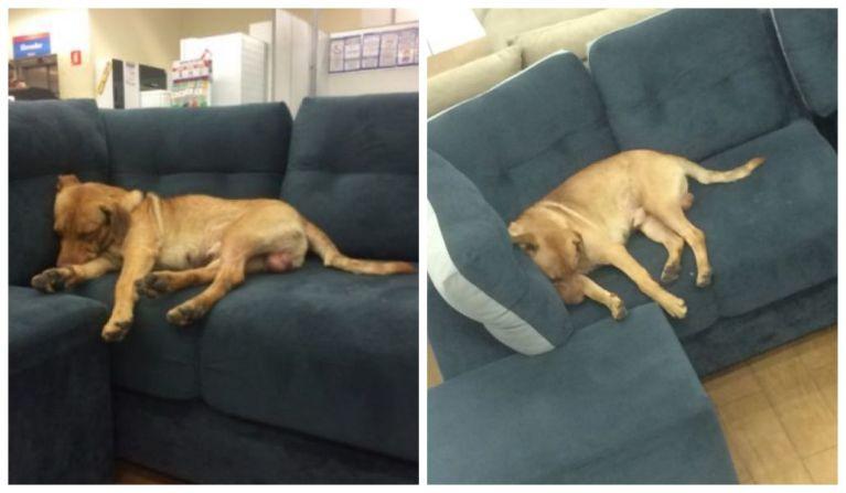 Cachorro que visitava loja todos os dias foi adotado por funcionário