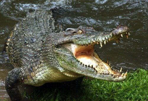 7 crocodilos e jacarés mais perigosos do mundo