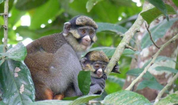 Content 1563532797 Sclaters Monkey 1 Cercopithecus Sclateri C Lynne R Baker 600x353, Fatos Desconhecidos