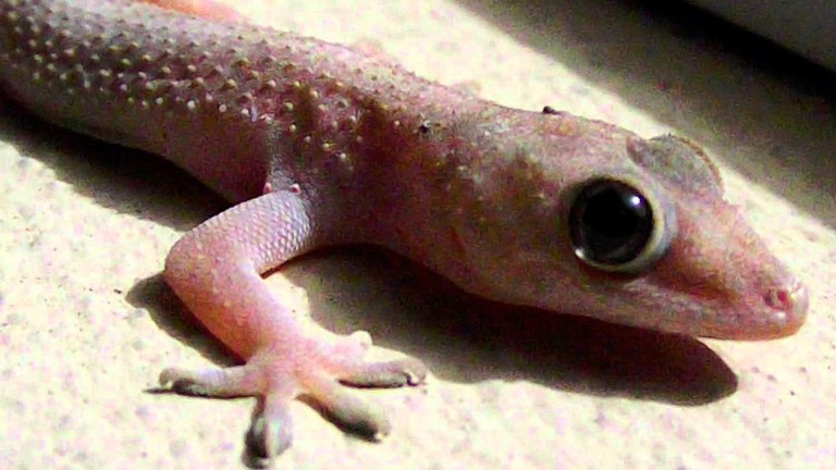 Homem acaba morrendo após comer lagartixa em desafio