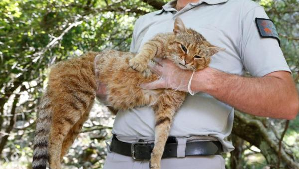 June 2019 An Employee Of The French Forest And Hunting Office Charles Antoine Cecchini Holds A Ghjattu Volpe Fox Cat Felis Silvestris On June 12 2019 Pascal Pochard Casabianca Afp 600x339, Fatos Desconhecidos