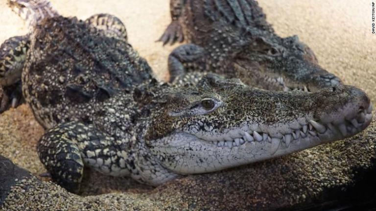 O ''crocodilo de Fidel Castro'' está tocando o terror na Europa