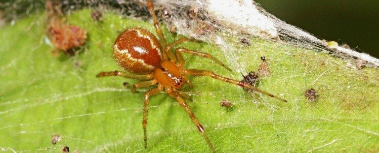 Aranhas podem vir a se tornar mais agressivas devido a mudanças climáticas