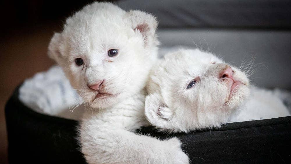 11 imagens que mostram raros leões brancos recém nascidos