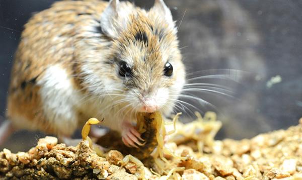 O rato que uiva para a lua e caça escorpiões