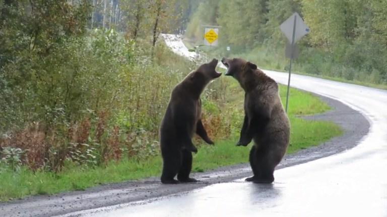 Vídeo mostra luta fervorosa entre ursos no Canadá