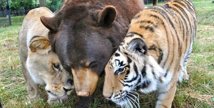 A estranha e linda amizade entre um urso, um tigre e um leão
