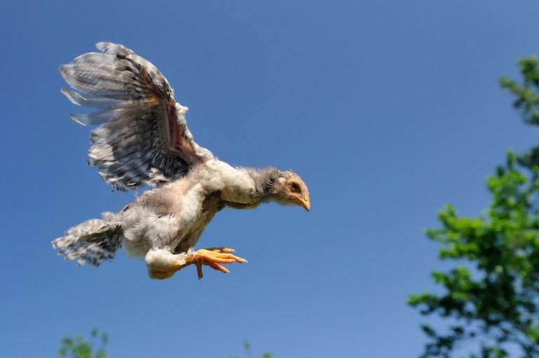Por que as galinhas não voam?