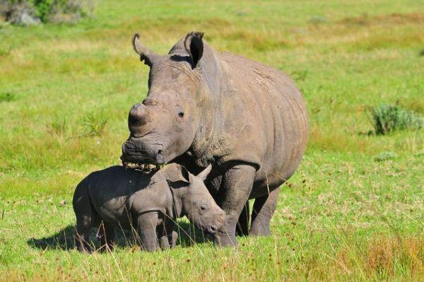Rinocerontes 600x399, Fatos Desconhecidos