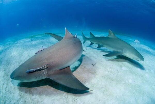 Tubarões 600x402, Fatos Desconhecidos