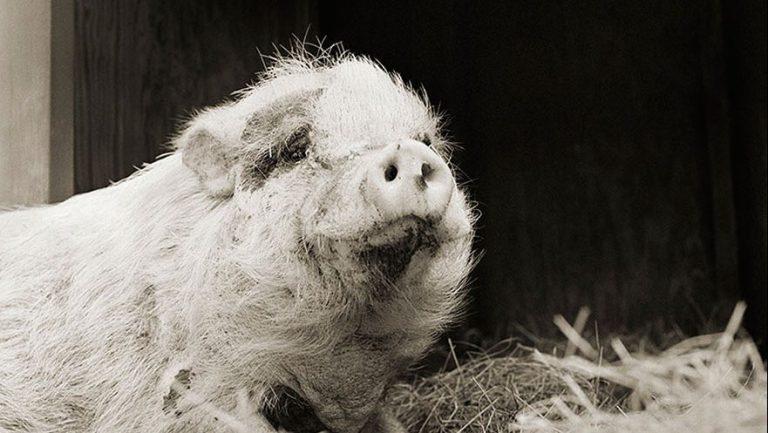 Fotógrafa faz ensaio emocionante de animais idosos, que foram resgatados de matadouro
