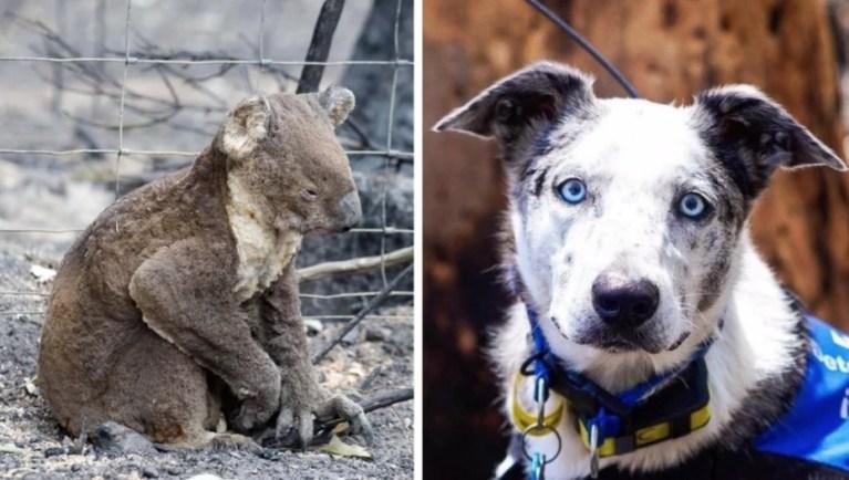 Esse cachorro com TOC salva coalas do fogo da Austrália