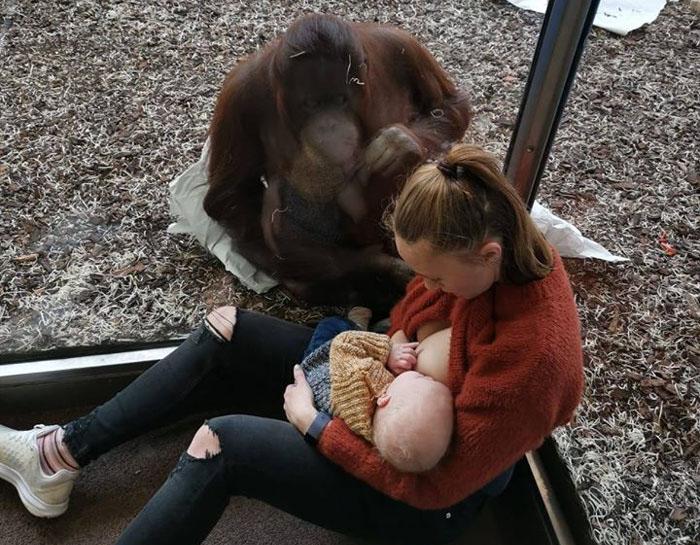 Uma mãe amamentou na frente de um orangotango e foi isso que aconteceu