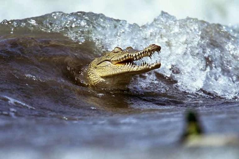 Veja o que acontece quando um drone passa perto de um crocodilo