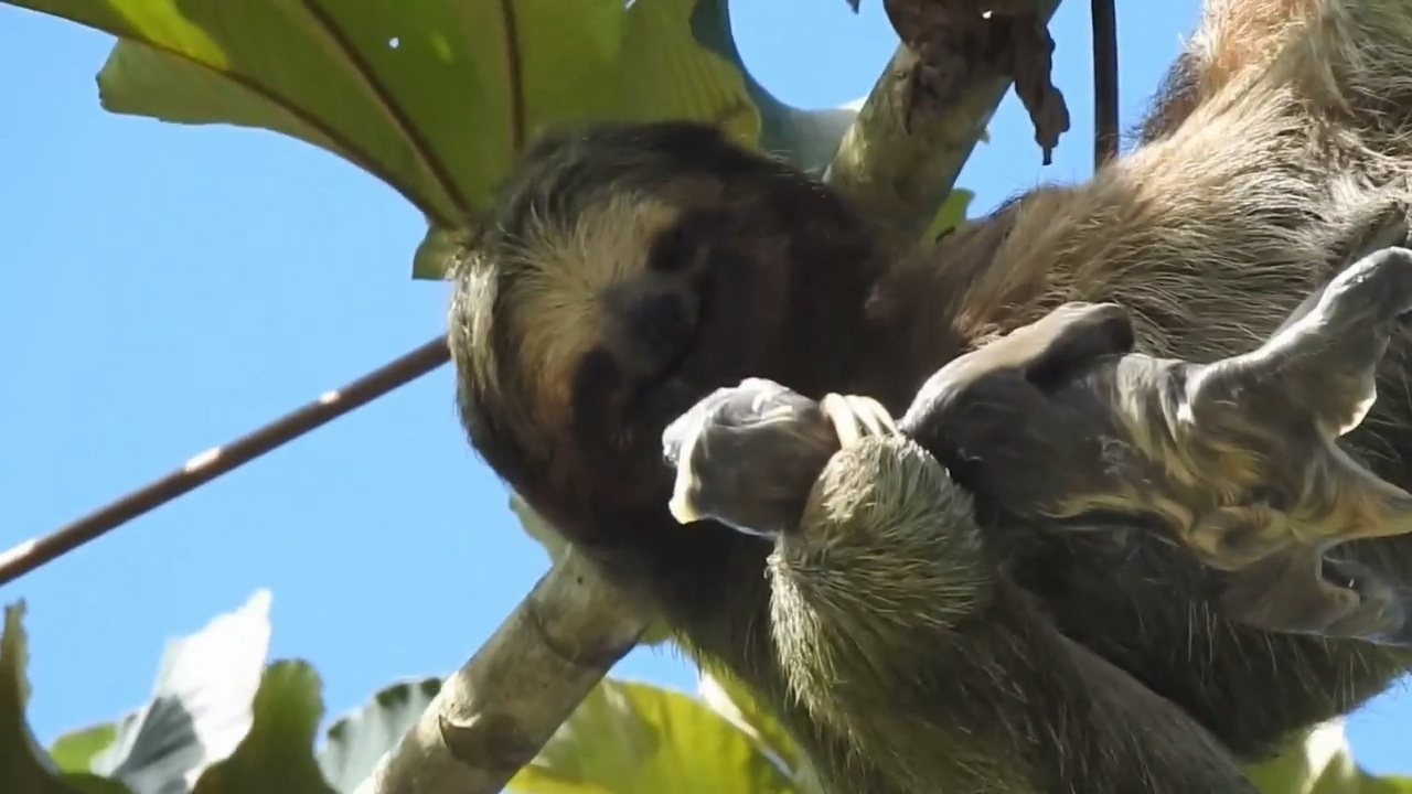 Imagens de preguiça dando à luz encanta a internet