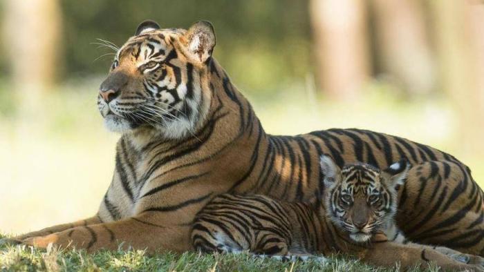 Um tigre em Nova York testou positivo para coronavírus
