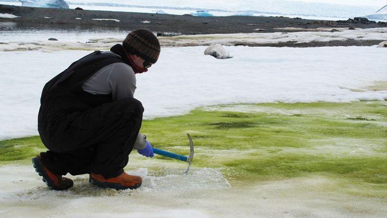 Por que a neve da Antártida está ficando verde?