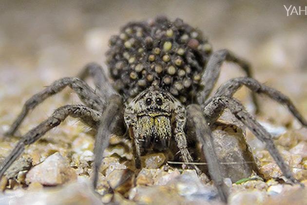 Essa espécie de aranha está praticando canibalismo por causa do aquecimento global
