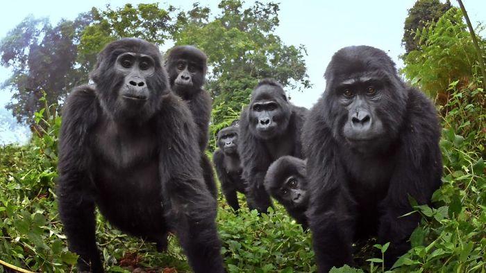 Gorilas-das-montanhas são filmados cantando pela primeira vez