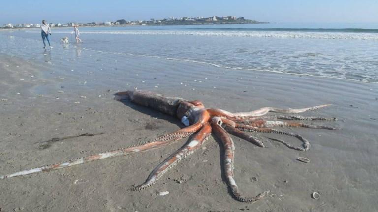 Lula do tamanho de um carro é encontrada em praia na África do Sul