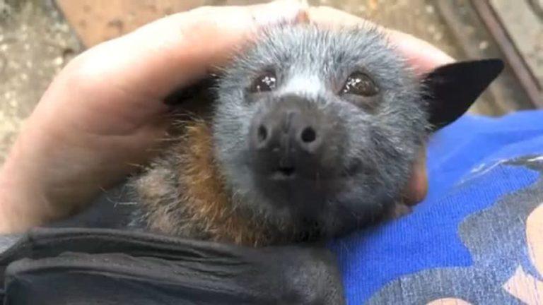 Que som os morcegos fazem quando recebem carinho?