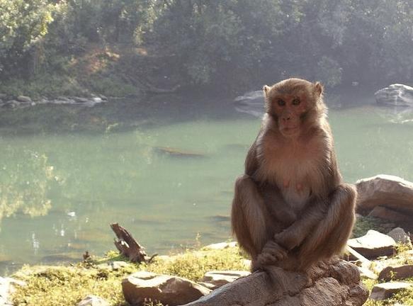 O macaco alcoólatra que matou 1 pessoa e feriu 250 depois de ficar sem bebida