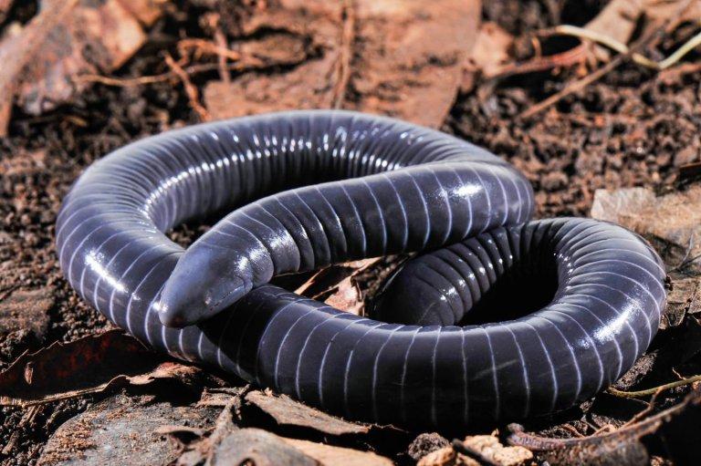 Pela primeira vez, glândulas de veneno parecidas com as de serpentes são encontradas em anfíbios