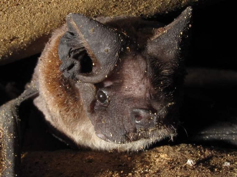 10 morcegos muito bizarros para serem considerados morcegos
