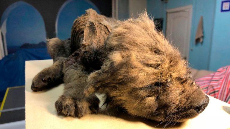 Filhote de cachorro, preservado no Permafrost, comeu um pedaço de um dos últimos rinocerontes lanudos do planeta