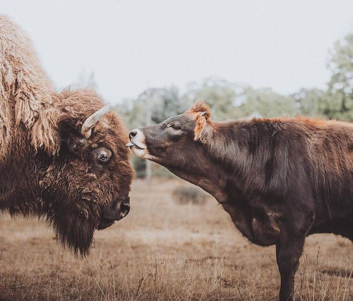 Conheça a história emocionante de Helen, a bisonte cega que vivia sozinha até encontrar um melhor amigo