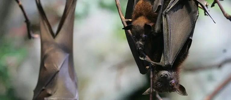 Forma como morcego fêmea se comunica com seus filhotes chama a atenção de cientistas